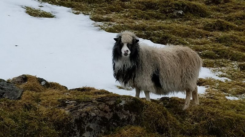 Faroe Islands, Torshavn, sheep