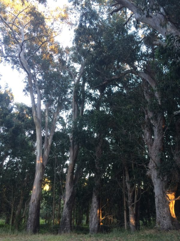 The Smell of the Eucalyptus Grove Near Our Camp Was Ethereal