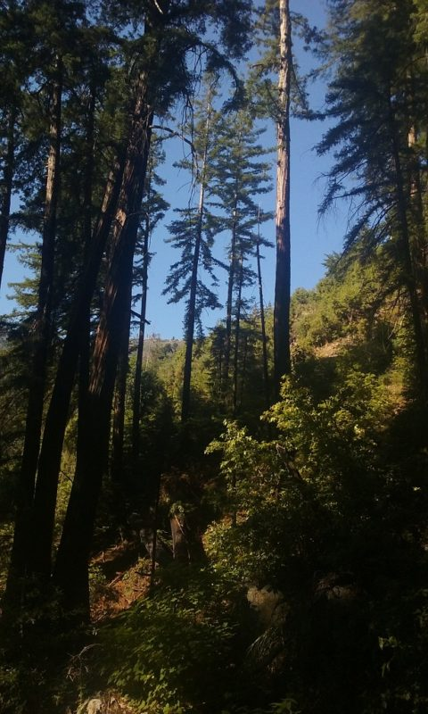 Tin Bark Trail Is Full of Redwoods at Lower Elevation