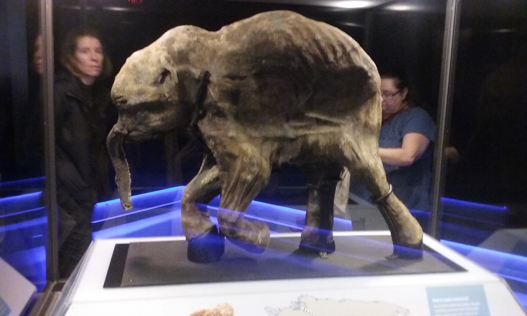 Lyuba Is an Entire Preserved Woolly Mammoth
