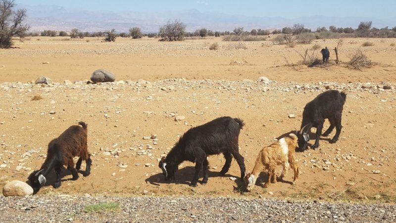 Souss-Valley-Argan-Oil-Goats